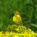 オミナエシの蜜を吸うモンキチョウ 佐賀県佐賀市金立公園 2008/08/24