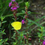 花の蜜を吸うキタキチョウ 佐賀県佐賀市金立公園 2008/08/24