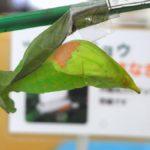羽化が近まったツマベニチョウの蛹 兵庫県伊丹市伊丹市昆虫館 2009/03/14