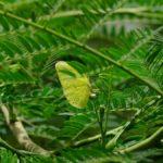 ハマセンナに産卵するするミナミキチョウ 兵庫県伊丹市伊丹市昆虫館 2009/03/14