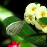 花に来たクロテンシロチョウ 兵庫県伊丹市伊丹市昆虫館 2009/03/14