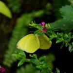 吸蜜するミナミキチョウ 兵庫県伊丹市伊丹市昆虫館 2009/03/14