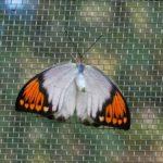 交尾拒否をするツマベニチョウのメス 兵庫県伊丹市伊丹市昆虫館 2009/03/14