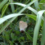 ワレモコウに産卵するゴマシジミ 大分県由布市湯布院町由布高原 2003/08/19