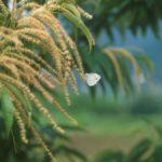 クリで蜜を吸うスジグロシロチョウ 宮崎県高千穂町岩戸 1997/06/13