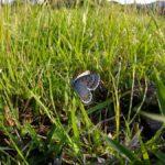朝陽で翅を暖めるオオルリシジミ 熊本県阿蘇郡南阿蘇村白水 2007/05/08