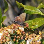 アセビの花に来たコツバメ 熊本県阿蘇郡産山村池山 2006/04/30