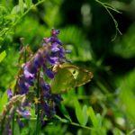 花の蜜を吸うモンキチョウ 熊本県阿蘇郡産山村 2009/08/23