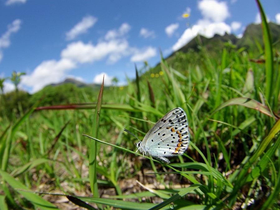 休むオオルリシジミ 熊本県阿蘇郡高森町上色見鍋の平 2011/05/09