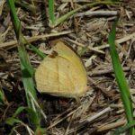 地面に降りたツマグロキチョウ 熊本県阿蘇郡高森町上色見鍋の平 2011/05/09