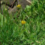 飛翔するツマグロキチョウ 熊本県阿蘇郡高森町上色見鍋の平 2011/05/09
