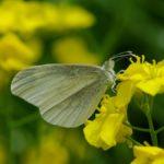 アブラナで吸蜜するヒメシロチョウ 熊本県阿蘇郡高森町野尻 2011/05/09