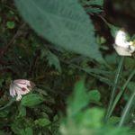 とまっているメスに求愛するスジグロシロチョウのオス 福岡県田川郡添田町英彦山 1996/06/15