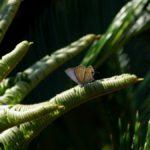 翅を開くクロマダラソテツシジミ  福岡県福岡市中央区唐人町成道寺 2009/09/20