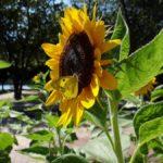 ヒマワリの蜜を吸うモンキチョウ 福岡県福岡市中央区大濠公園 2011/09/06