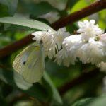 サラサウツギの蜜を吸うモンシロチョウ 福岡県福岡市中央区西公園 2007/05/28