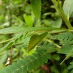 ネムについていたキタキチョウの蛹 福岡県福岡市中央区西公園 2010/09/29