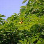 夕刻に枝先を飛び回るアカシジミ 福岡県福岡市城南区七隈 2008/05/20