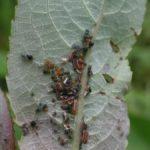 ヌルデのアブラムシに混じるクロシジミの幼虫 福岡県福岡市早良区板屋 2002/07/21