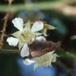 クマイチゴの花に来たコツバメ 福岡県福岡市早良区西油山 1989/04/13