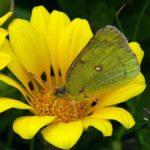 花の蜜を吸うモンキチョウ 福岡県福岡市糸島市志摩町姫島 2006/04/29