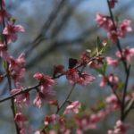 アンズの花に来たコツバメ 福岡県福岡市西区今宿上ノ原