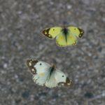 求愛飛翔するモンキチョウのオス 福岡県福岡市西区吉武 2005/09/29
