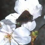 サクラにきたコツバメ 福岡県福岡市西区羽根戸 1997/03/31