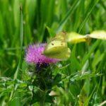 吸蜜するモンキチョウのメスに求愛するオス 福岡県糸島市芥屋 2008/06/06