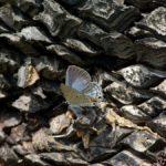 翅を開くクロマダラソテツシジミ 福岡県糸島市志摩町芥屋 2010/09/28