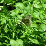 クレソンで吸蜜するスジグロシロチョウ 福岡県糸島市瑞梅寺 2008/05/06