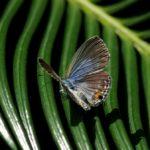 翅を開くクロマダラソテツシジミ  長崎県平戸市平戸市役所 2009/08/19