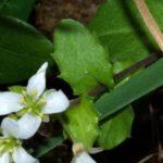 スズシロソウにいたヤマトスジグロシロチョウの幼虫 長崎県平戸市生月町 2008/04/11