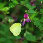 ヤマハギの蜜を吸うキタキチョウ 長崎県平戸市生月町 2008/08/12
