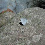岩にとまるスギタニルリシジミ 福岡県八女市矢部村釈迦ヶ岳 2006/04/07