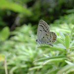 クロツバメシジミ ssp. shojii 大分県日田市天瀬町小五馬 2001/09/07