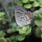 産卵にやってきたクロツバメシジミ ssp. shojii 大分県日田市天瀬町小五馬 2001/09/07