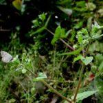 吸蜜するクロツバメシジミ ssp. shojii 大分県日田市天瀬町小五馬 2002/04/29