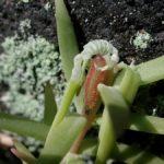 オノマンネングサを食べるクロツバメシジミ ssp. shojii の幼虫 大分県日田市天瀬町小五馬 2002/05/21