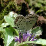 吸蜜するクロツバメシジミ ssp. shojii 熊本県阿蘇郡小国町杖立 2002/05/05