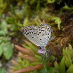 吸蜜するクロツバメシジミ ssp. shojii 熊本県阿蘇郡小国町杖立 2010/09/20