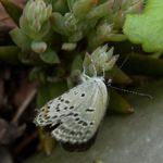 産卵にやってきたクロツバメシジミ ssp. shojii 熊本県阿蘇郡小国町杖立 2010/09/20