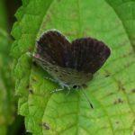 クロツバメシジミ ssp. shojii 熊本県阿蘇郡小国町杖立 2010/09/20