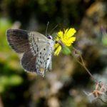 吸蜜するクロツバメシジミ ssp. shojii 熊本県阿蘇郡小国町杖立 2010/10/11