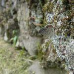 クロツバメシジミ ssp. shojii 福岡県築上郡上毛町大門 2012/08/04