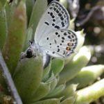 産卵にやってきたクロツバメシジミ ssp. shojii 福岡県築上郡上毛町東上岩屋 2002/09/05