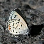 クロツバメシジミ ssp. shojii 福岡県築上郡上毛町東上岩屋 2004/10/16