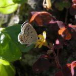 吸蜜するクロツバメシジミ ssp. shojii 福岡県築上郡上毛町東上岩屋 2004/10/16
