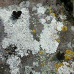 クロツバメシジミ ssp. shojii 福岡県築上郡上毛町西友枝大門 2003/10/19
