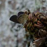 クロツバメシジミ ssp. shojii 福岡県築上郡上毛町西友枝大門 2008/10/14